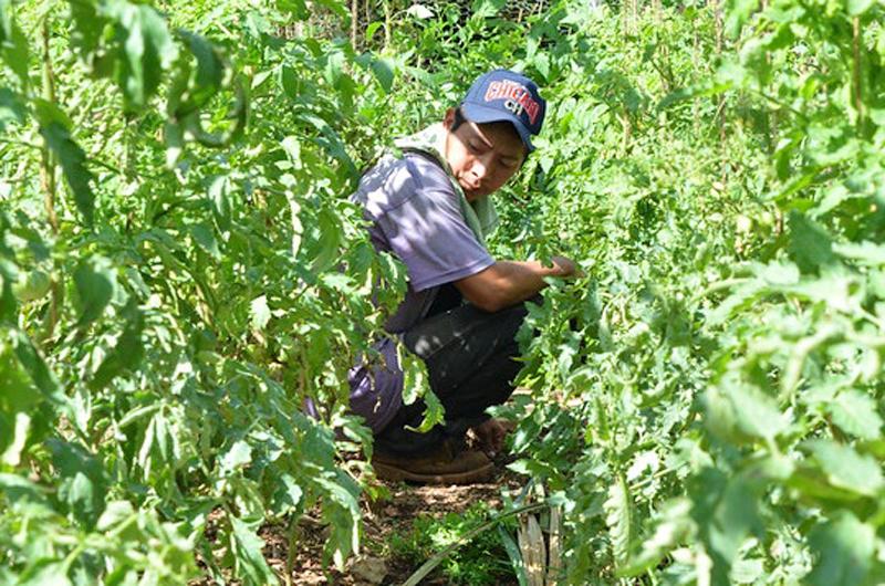 Abandono de la milpa provoca significativa migración en comunidades mayas