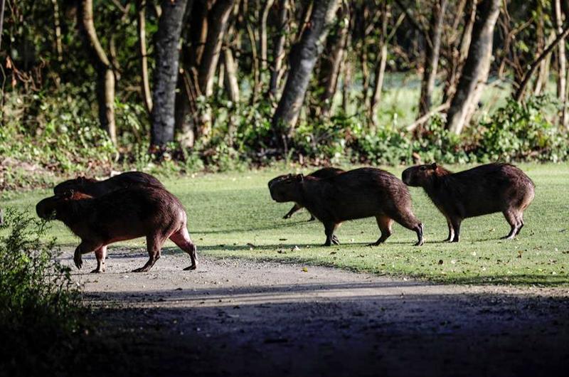 La pandemia aumenta la presencia de animales salvajes en un campo de golf en Brasil